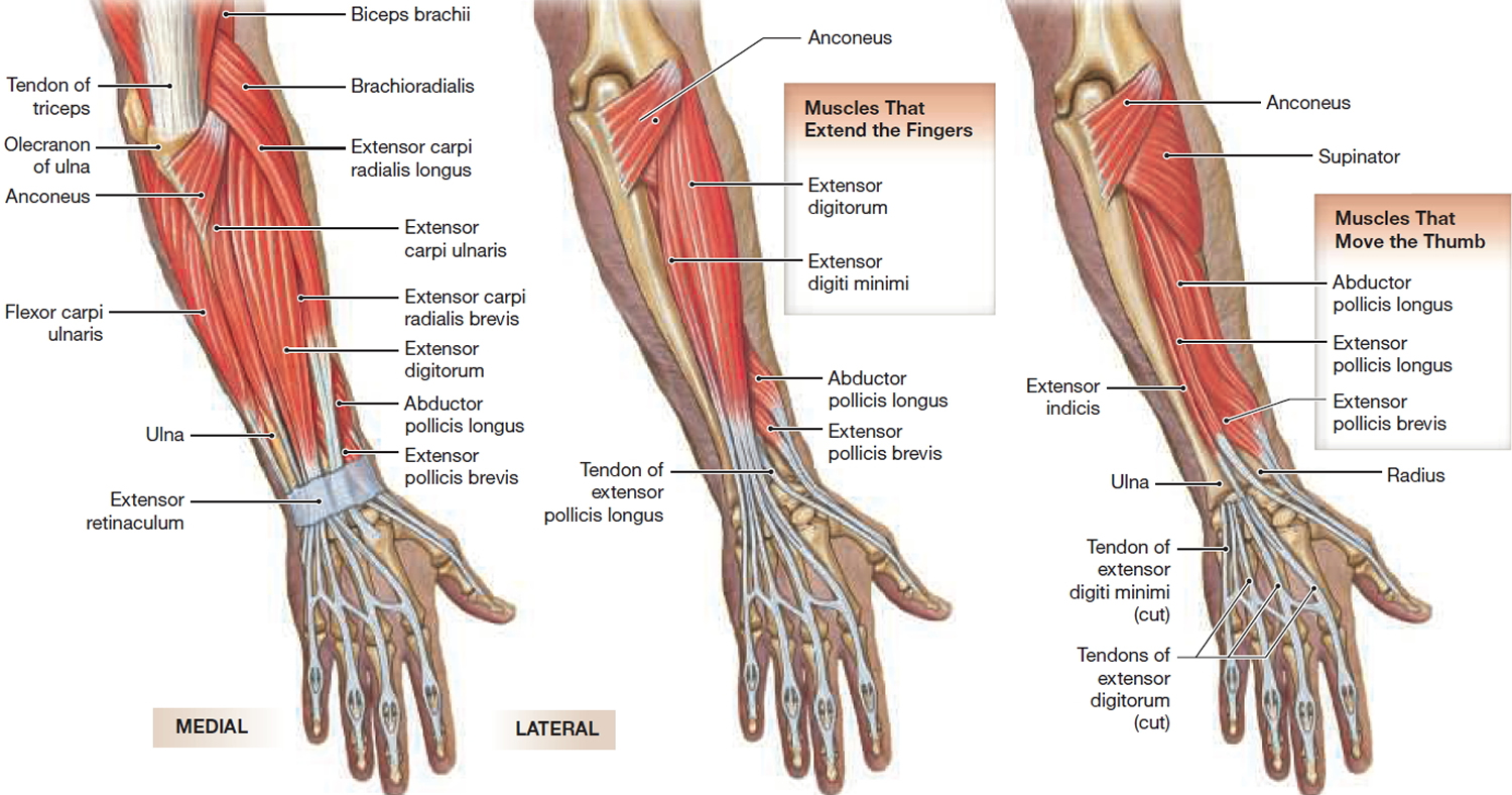 muscles that move hand and fingers - back view