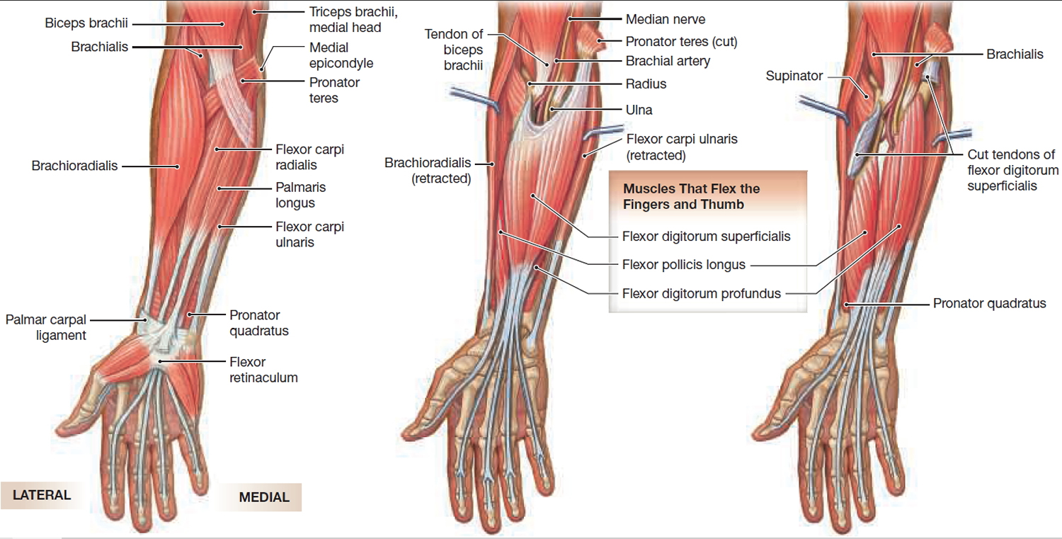 muscles that move hand and fingers