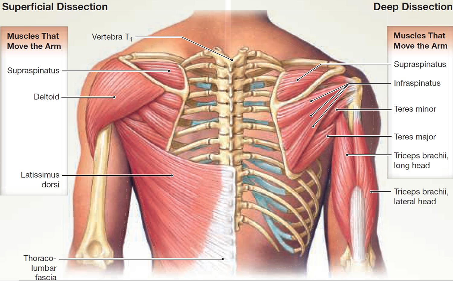 muscles that move the arm - back view