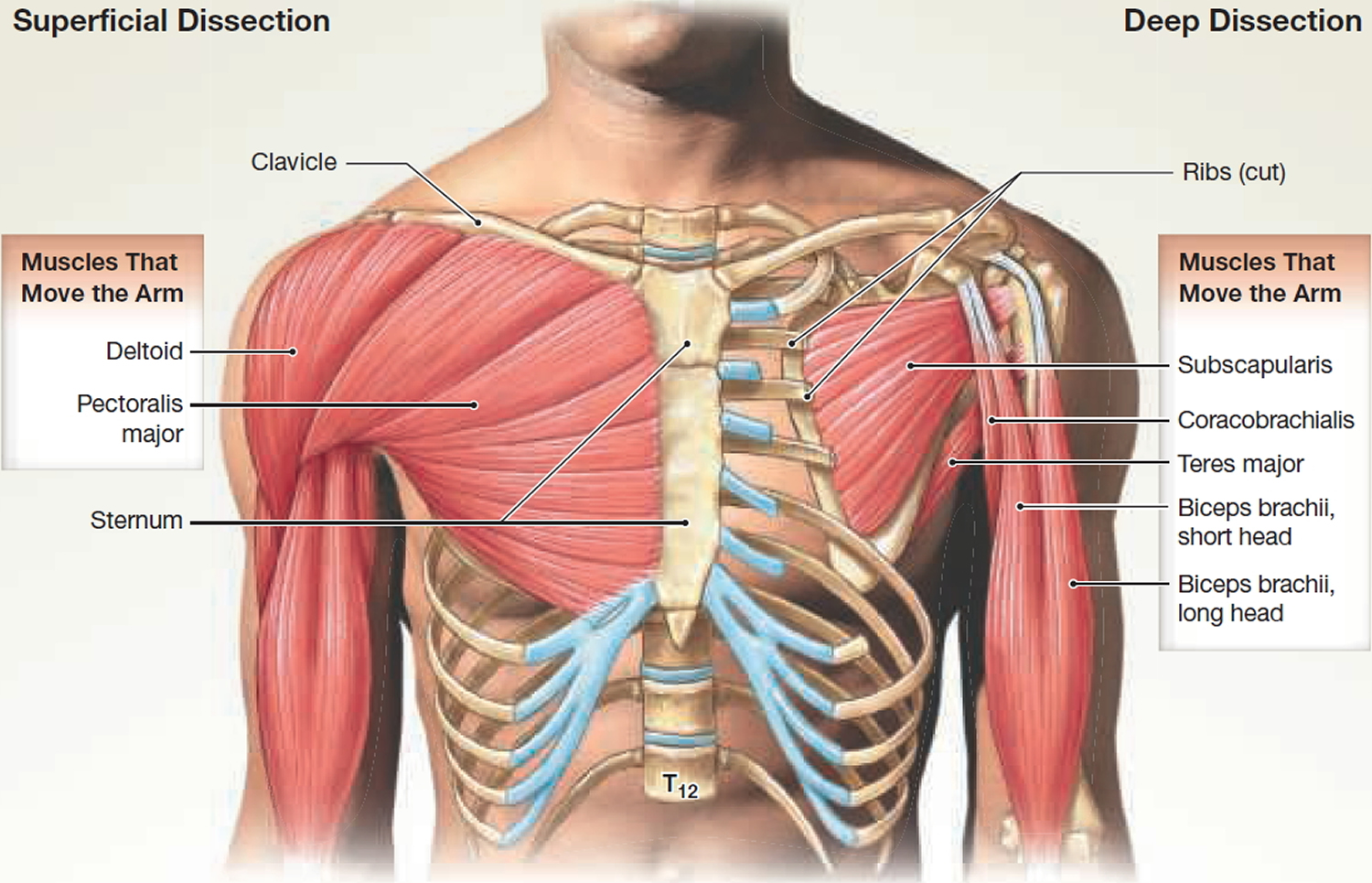 muscles that move the arm - front view