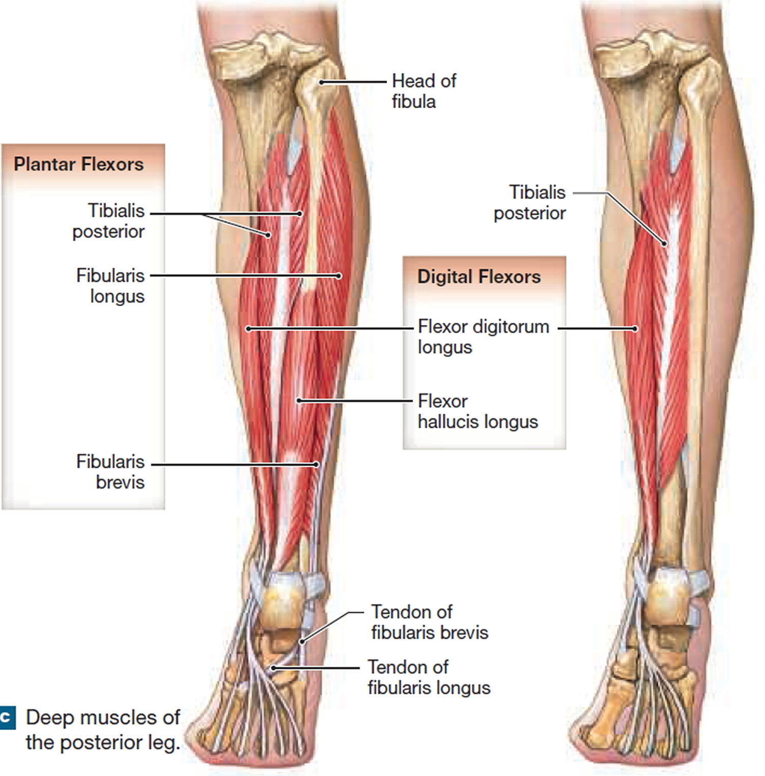 muscles that move the leg and foot - deep muscles