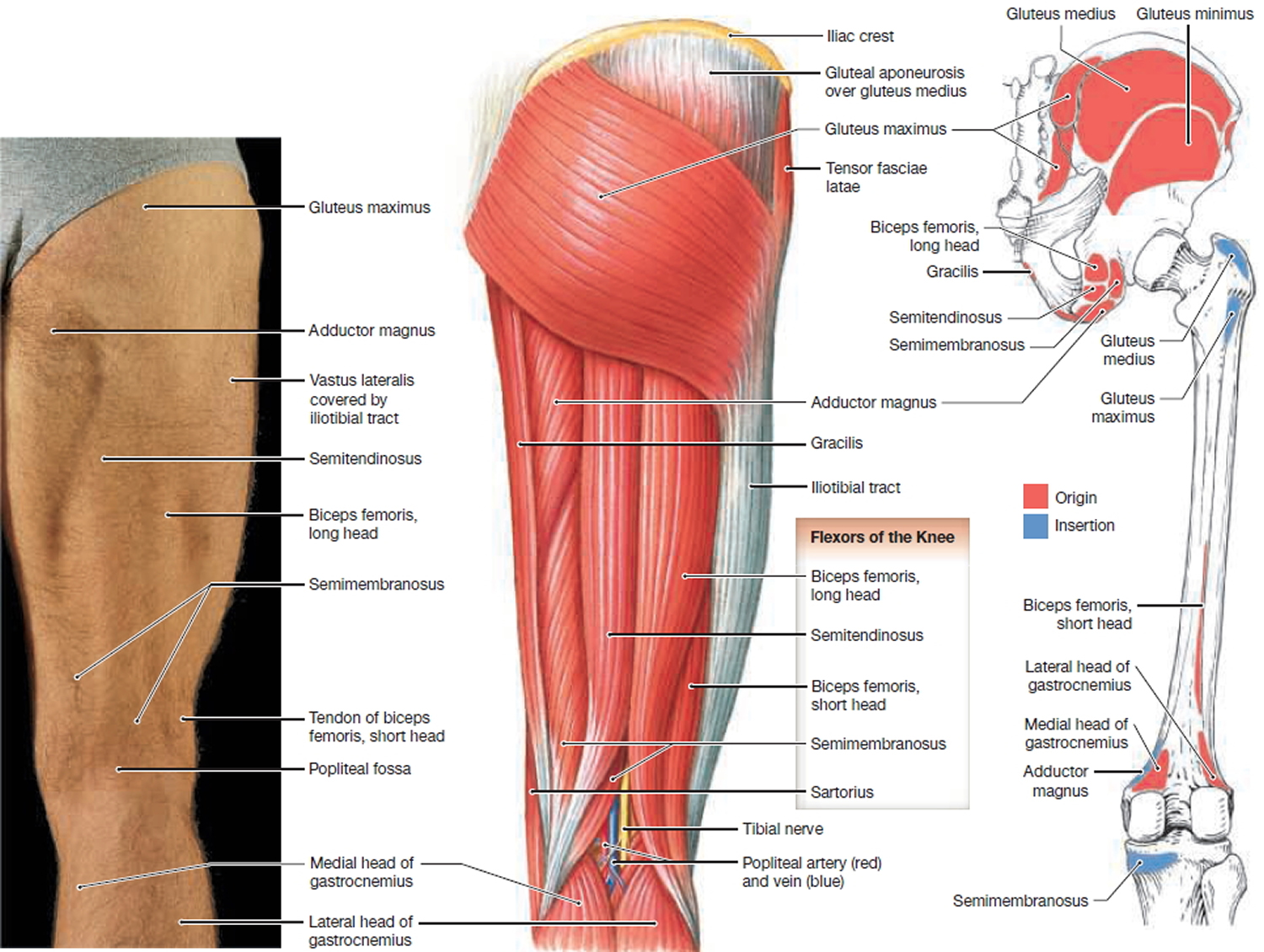 muscles that move the leg - back view