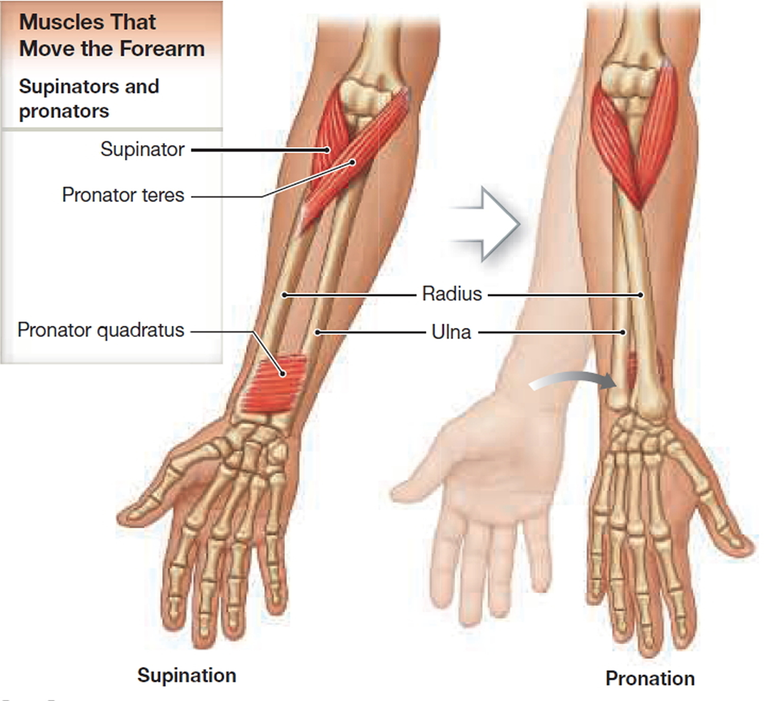 muscles that pronate and supinate the forearm