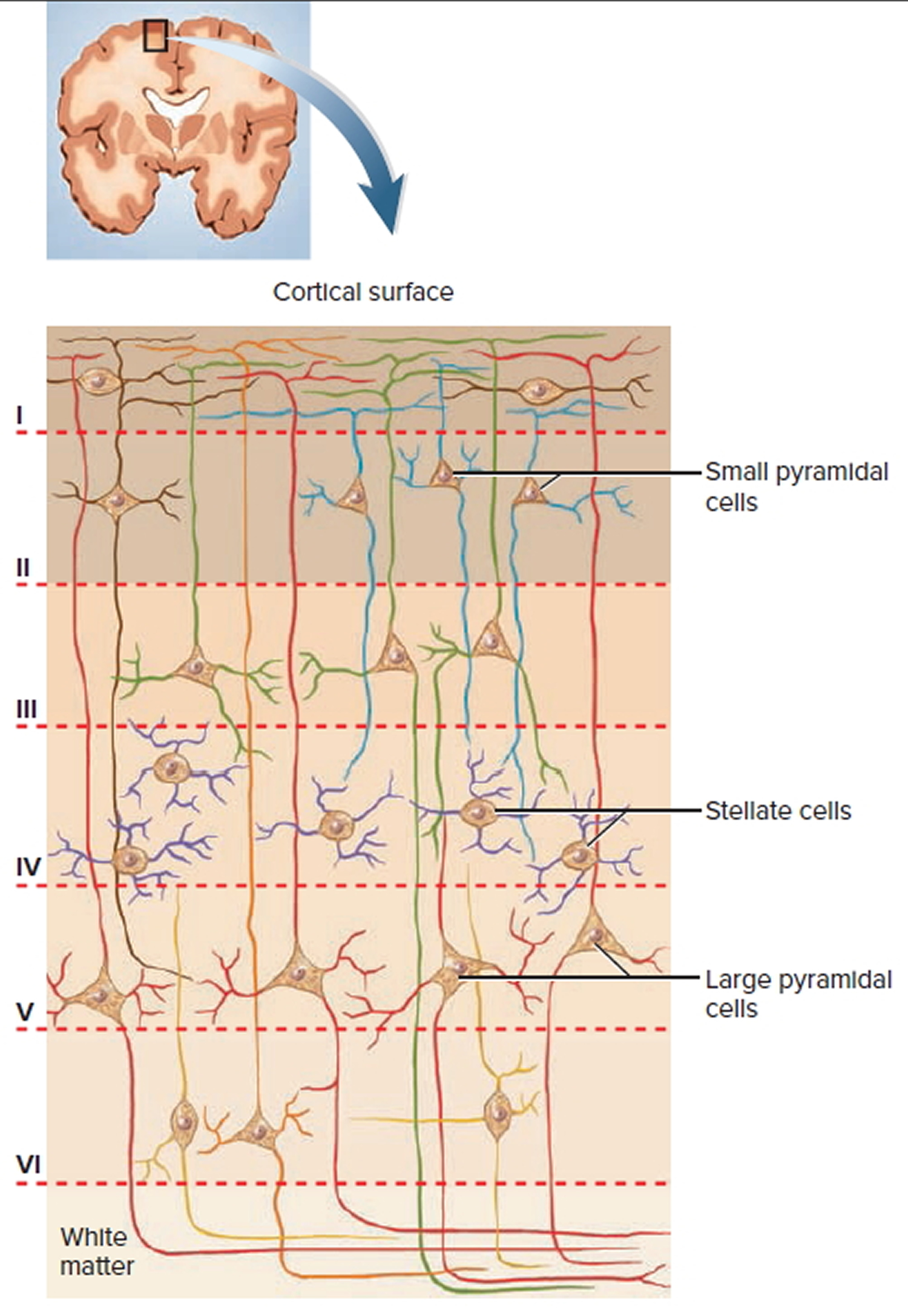 neocortex cell layers