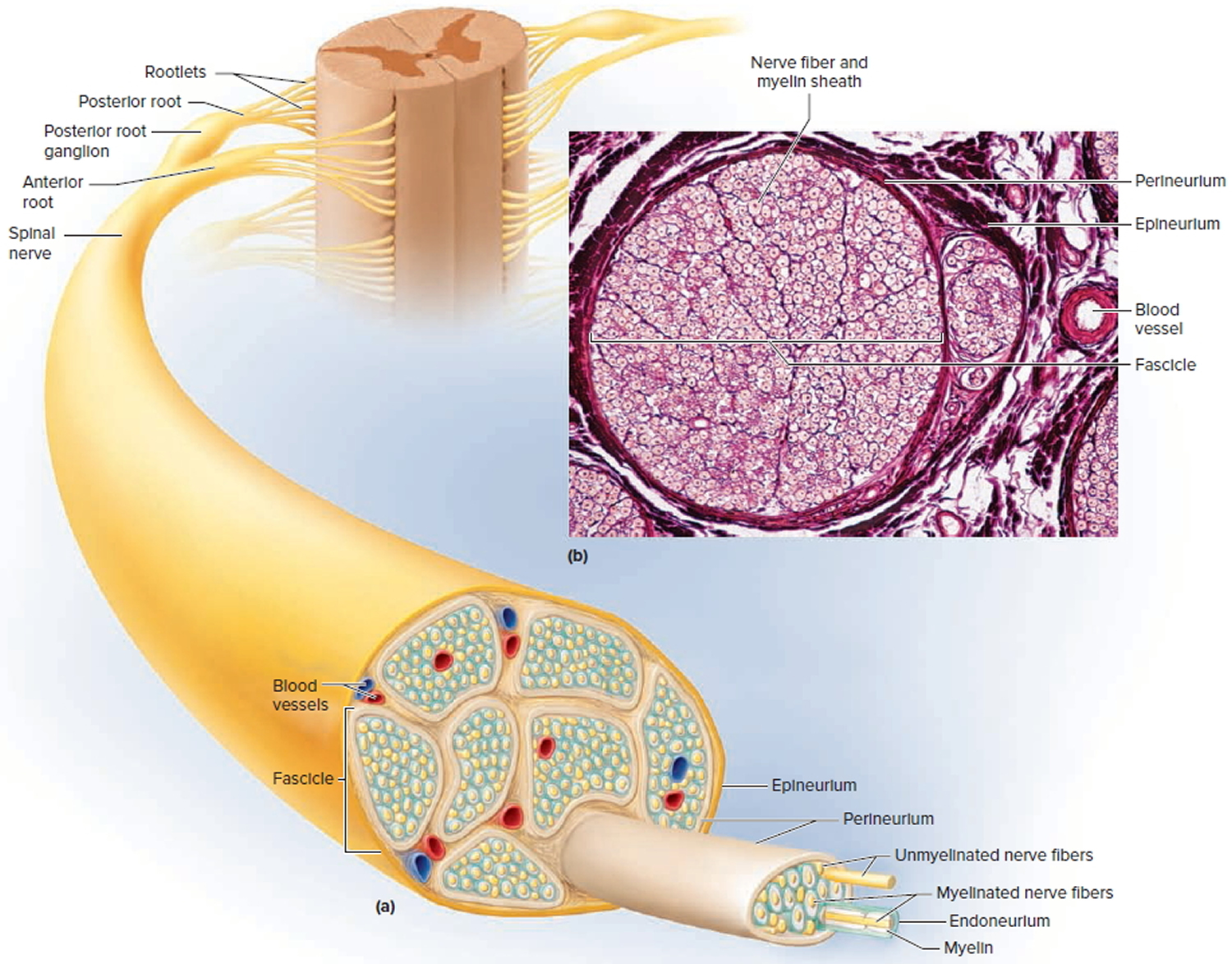 Sensory Nervous System - Organs and Functions