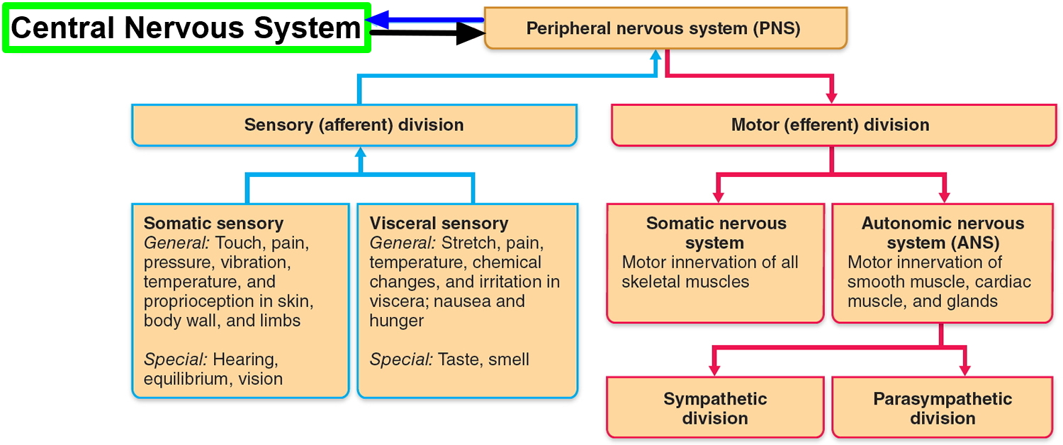 Nervous System Central And Peripheral Nervous System Function