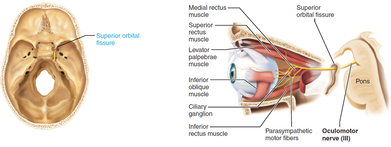 oculomotor nerve - cranial nerve 3