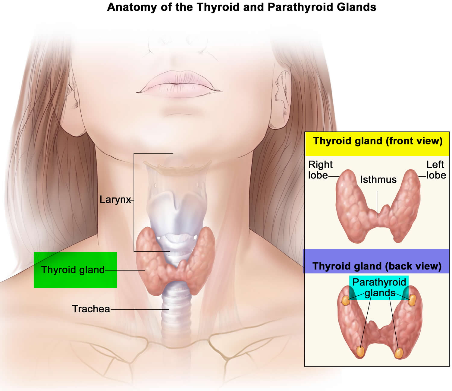 Parathyroid Gland Location, Function, Hormones, Disorders ...