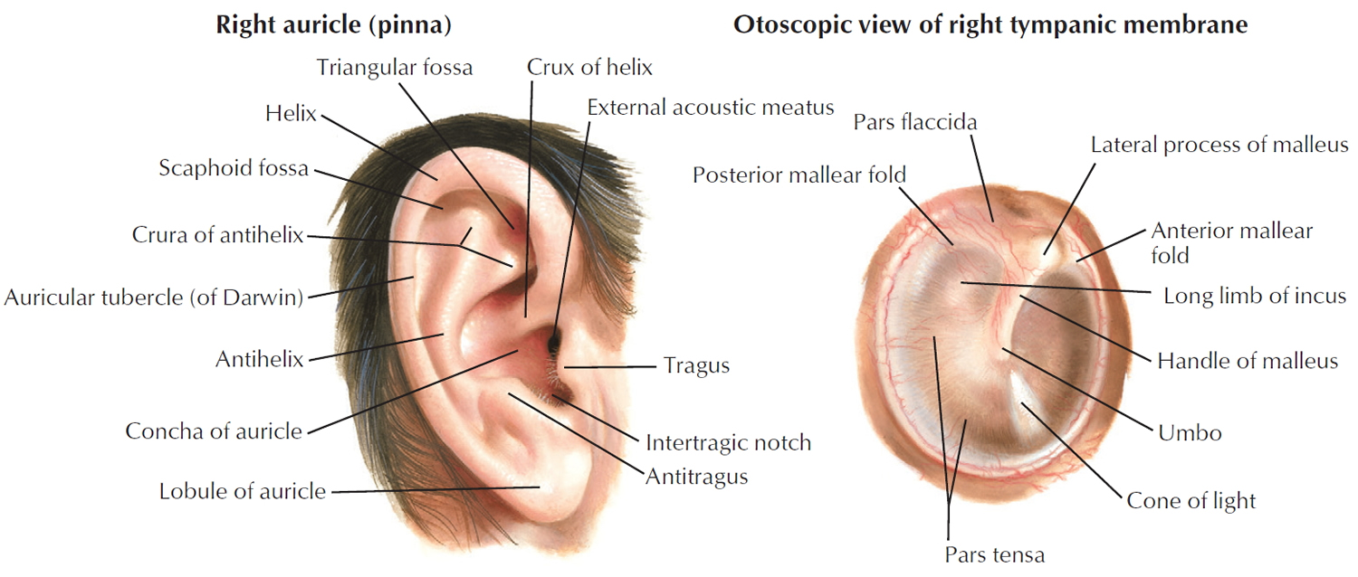Human ear anatomy parts of ear structure diagram and ear problems human ear ccuart Images