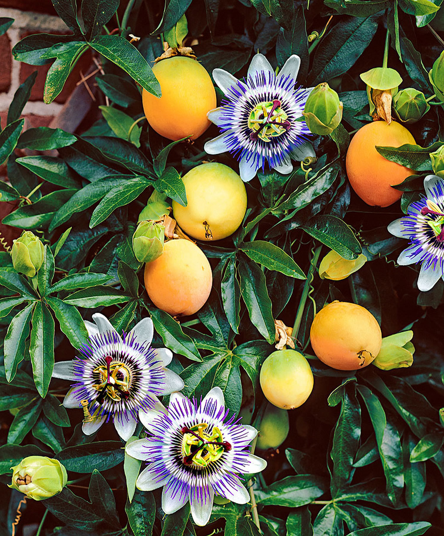 Passion Fruit - Passion Fruit Juice Nutrition Facts ...