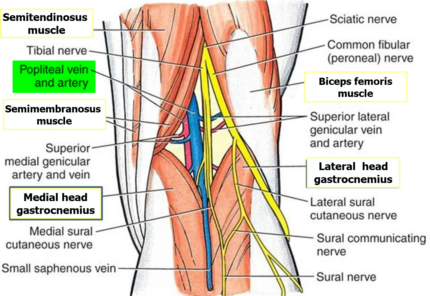 Anatomy of popliteal fossa