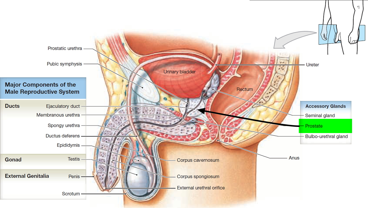 prostate gland prostate gland location and function Prostate Treatment prostate gland