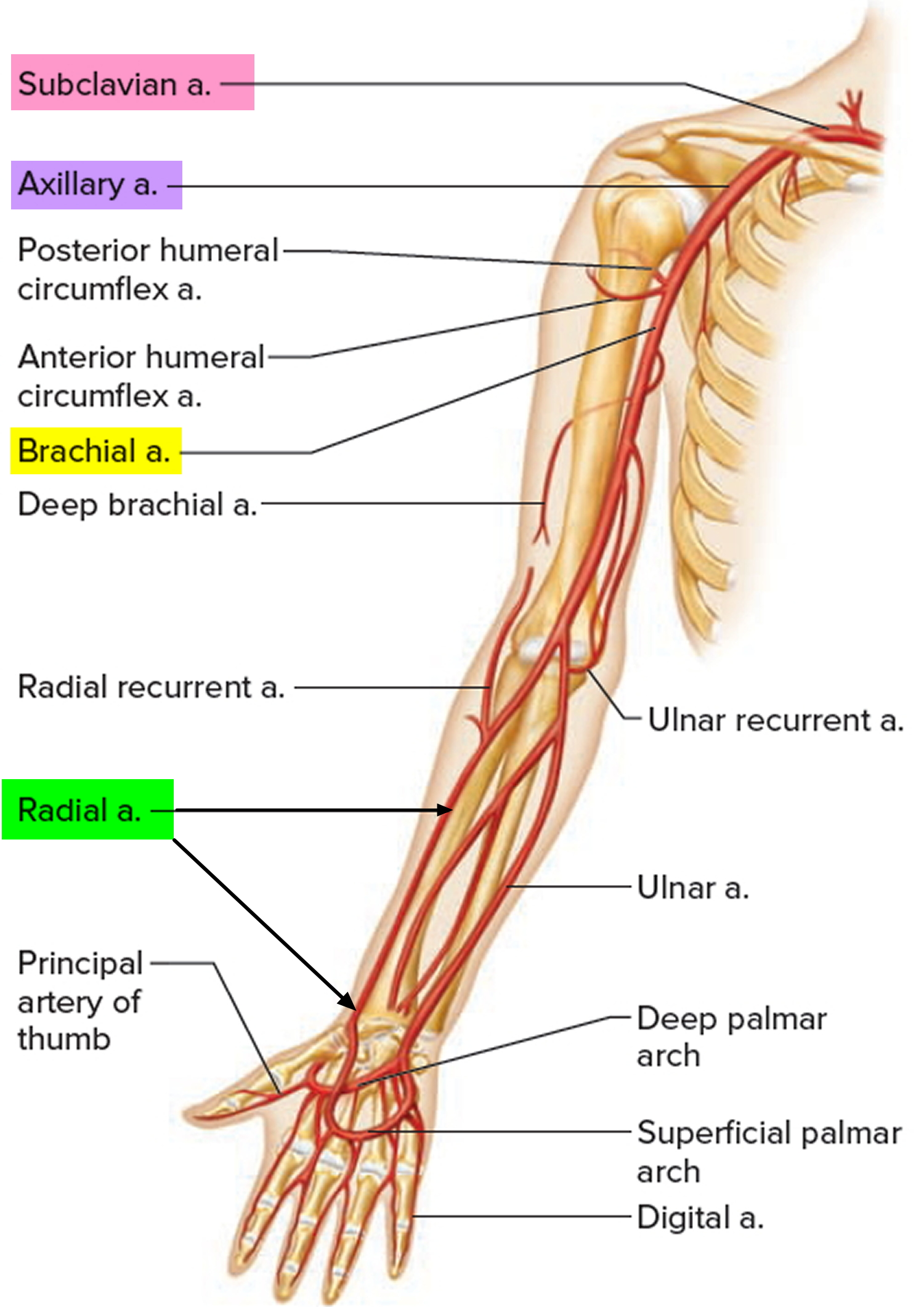 Radial Artery - Location in the Arm for Radial Artery Catheterization