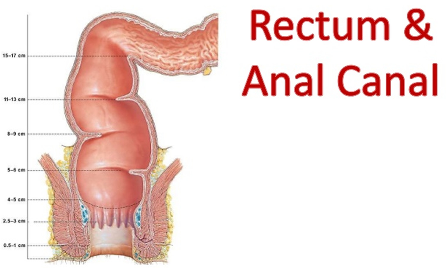 The anatomy of the anus