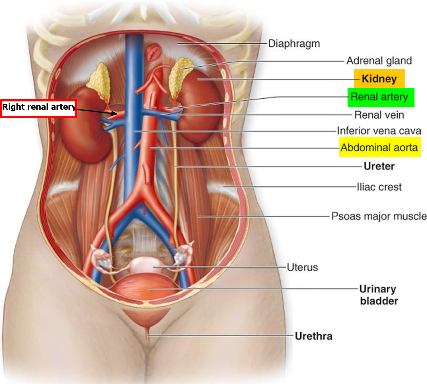 renal artery location