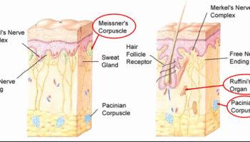 sensory receptors nerve endings