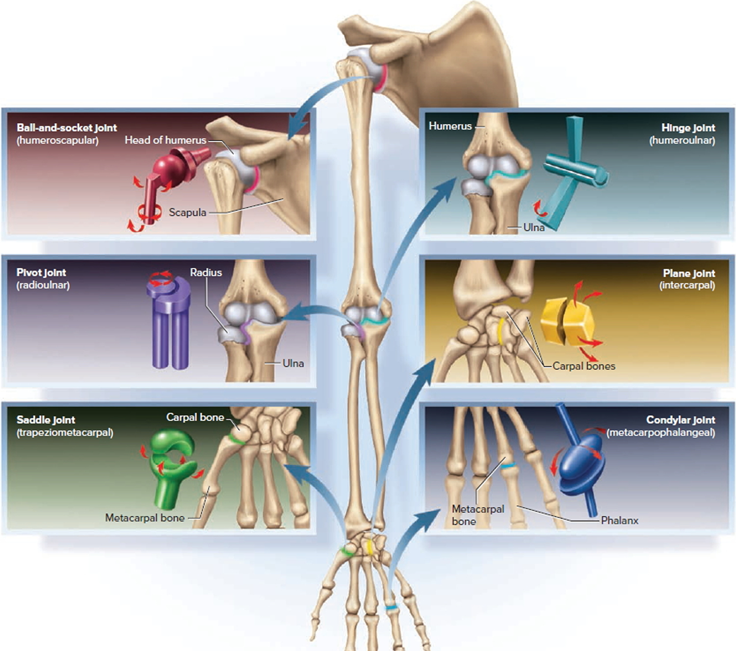 six types of synovial joints