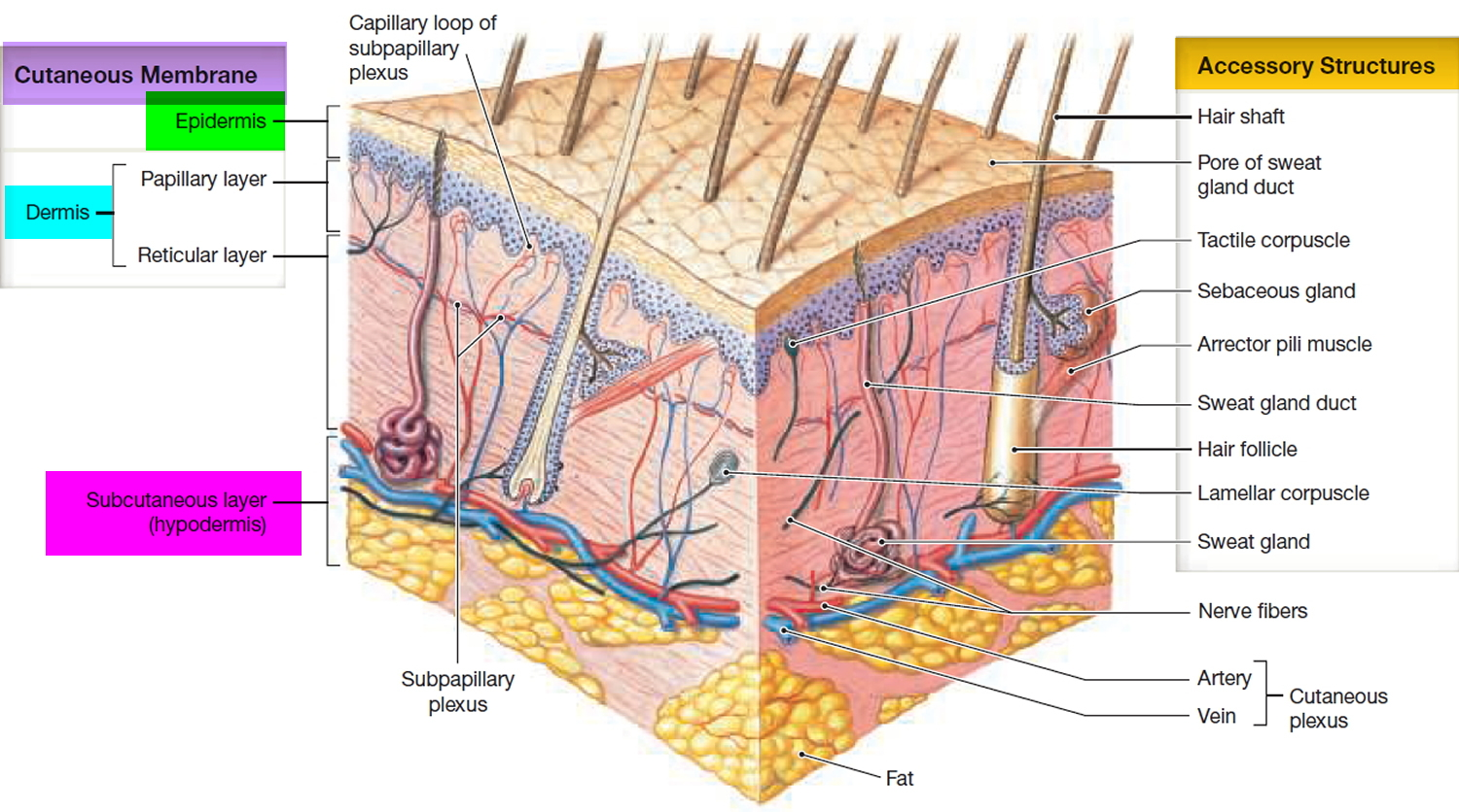 Epidermis 5 Layers Of Epidermis Outermost Layer Function