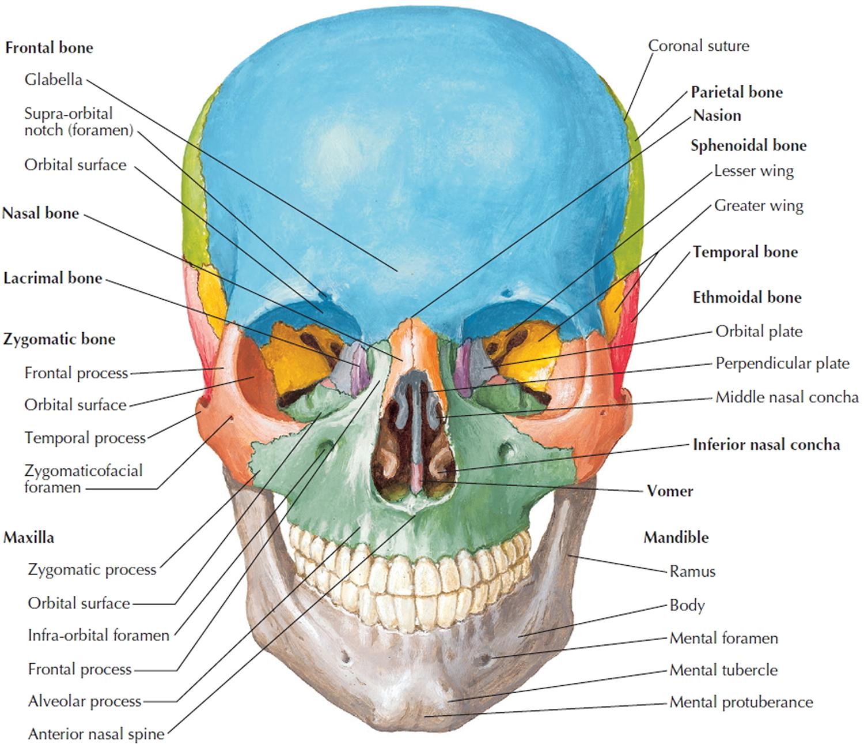skull bone