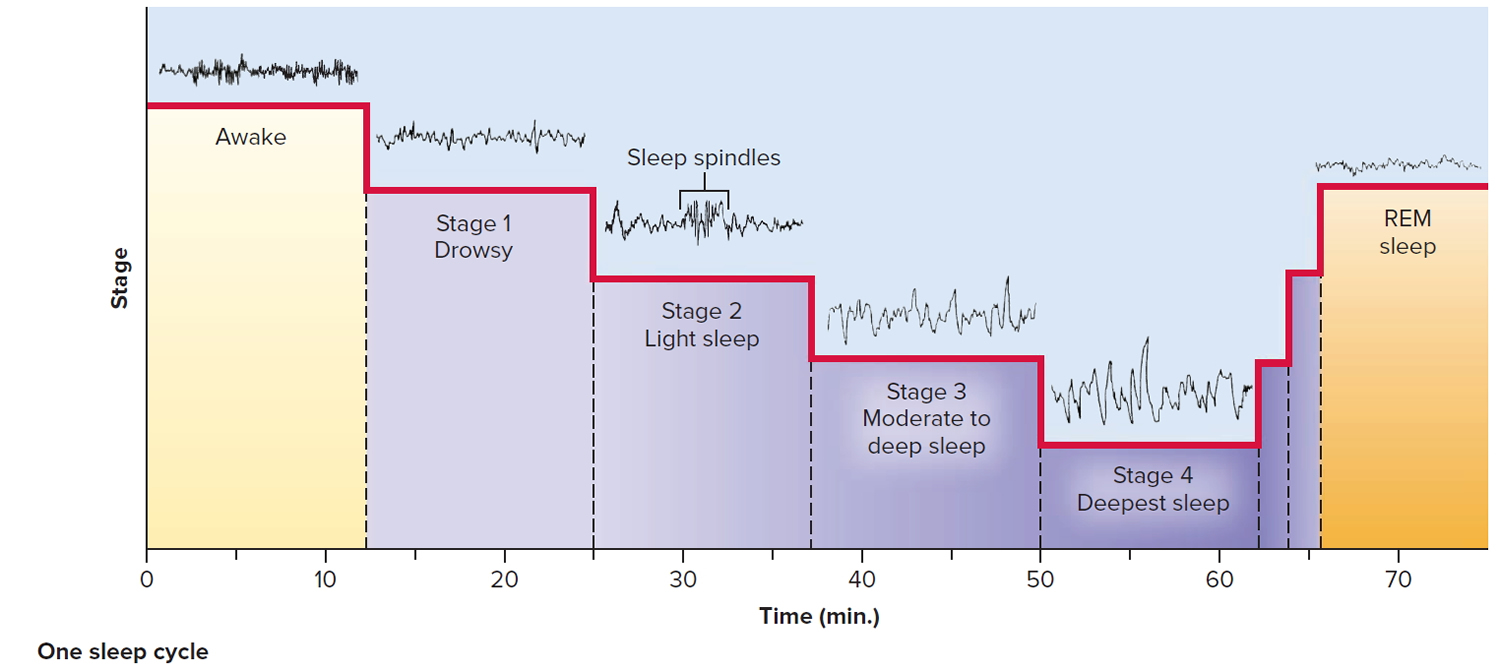 sleep stages and brain activity - one sleep cycle