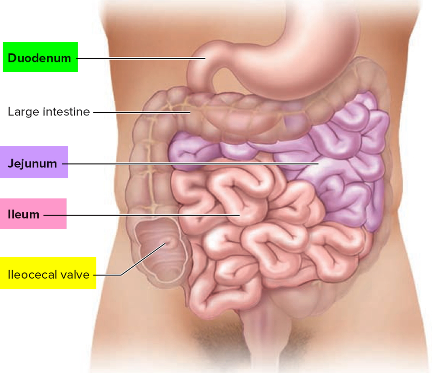 the small intestine The small intestine is a tubular structure within the abdominal cavity that carries the food in continuation with the stomach up to the colon from where the large.