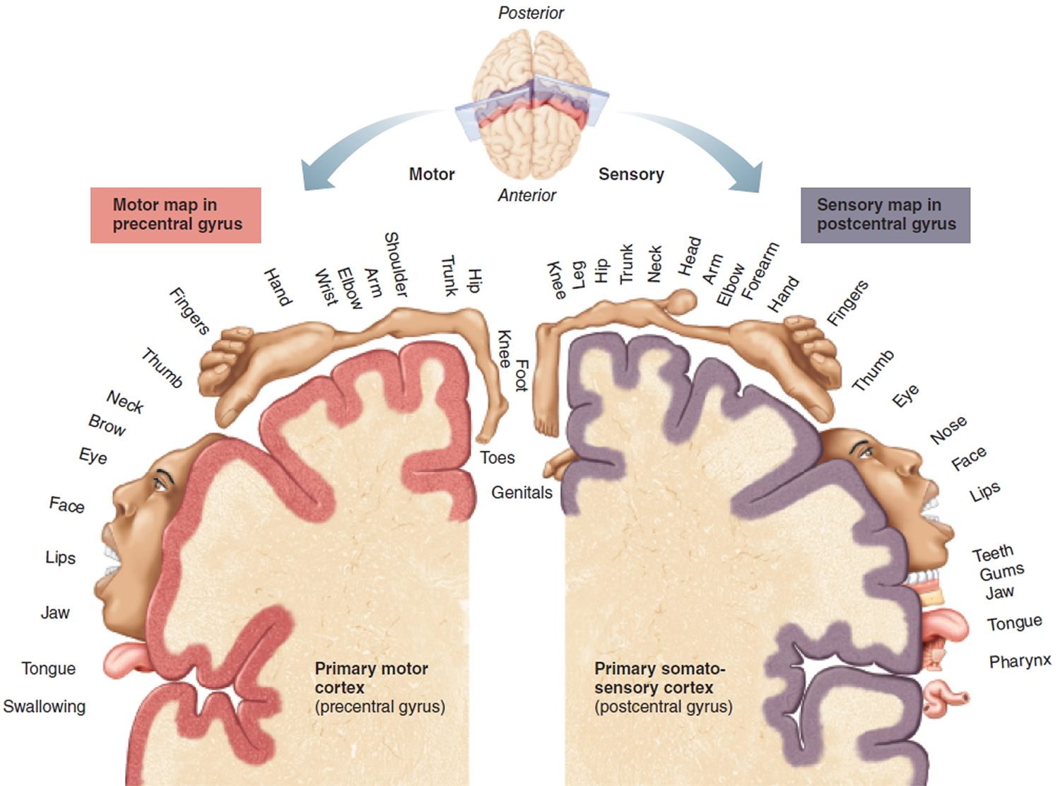 somatosensory and motor cortex of the cerebrum