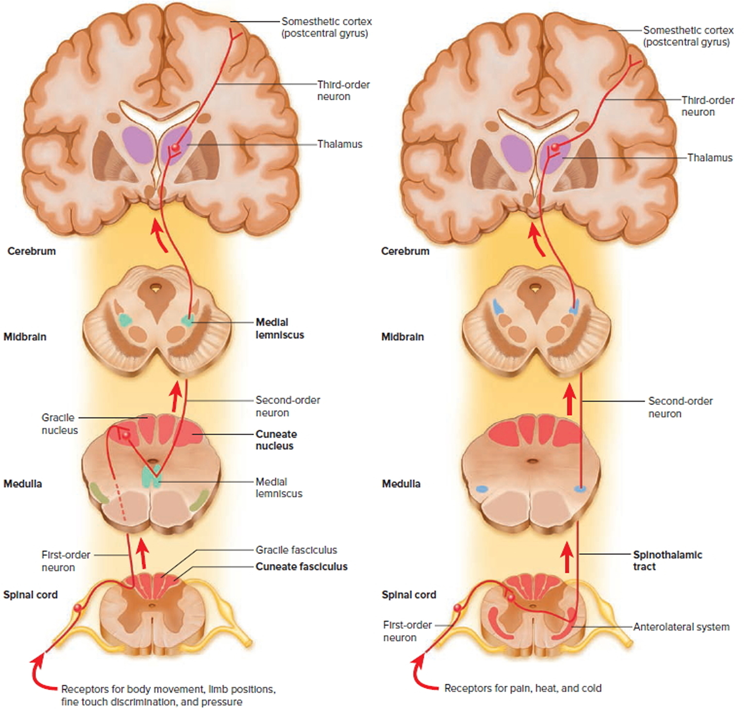 Spinal Cord Anatomy - Parts and Spinal Cord Functions