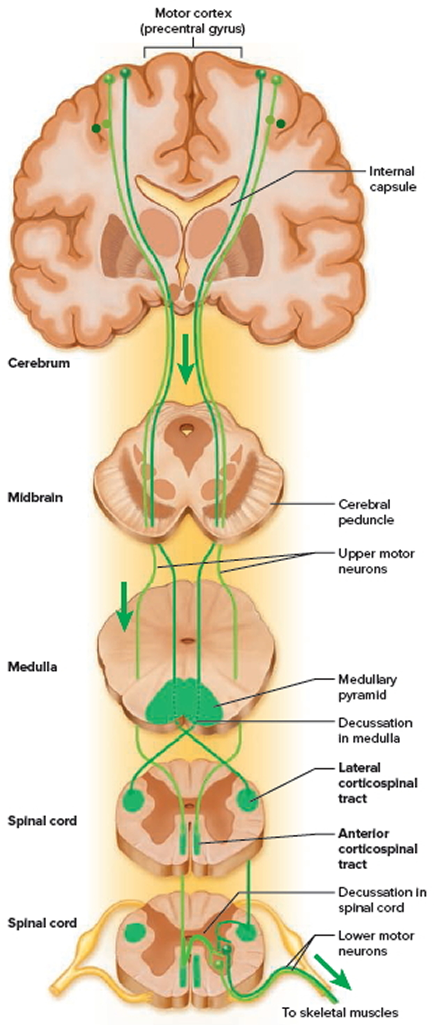 spinal cord descending pathways from the brain