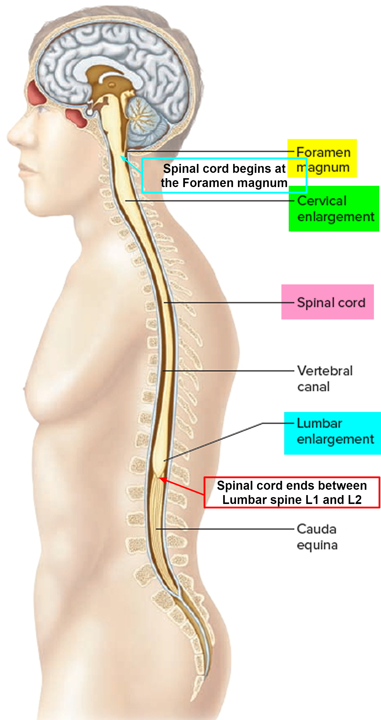 Spinal Cord Compression Causes Symptoms Diagnosis And Treatment