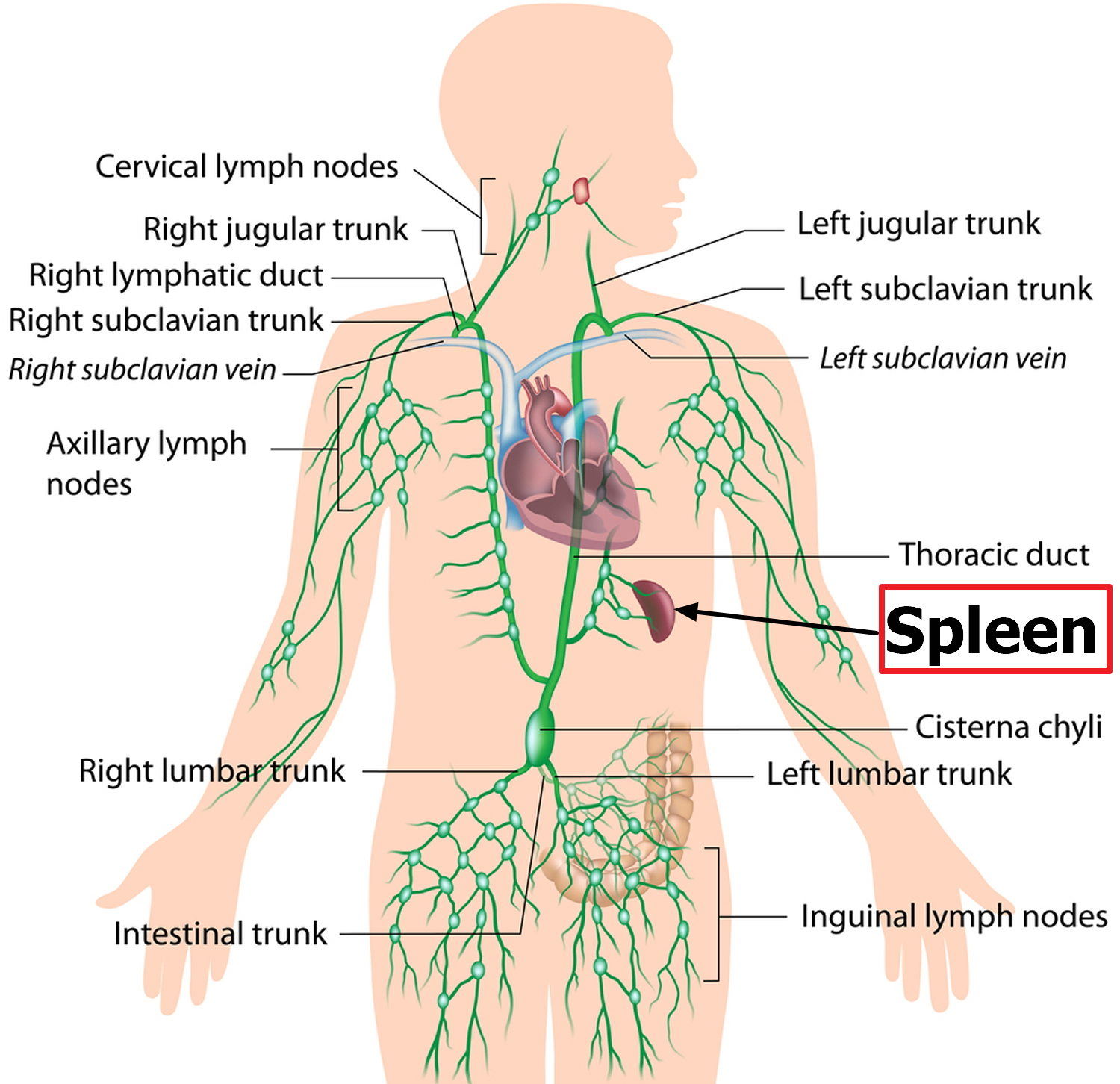 spleen and the lymphatic system
