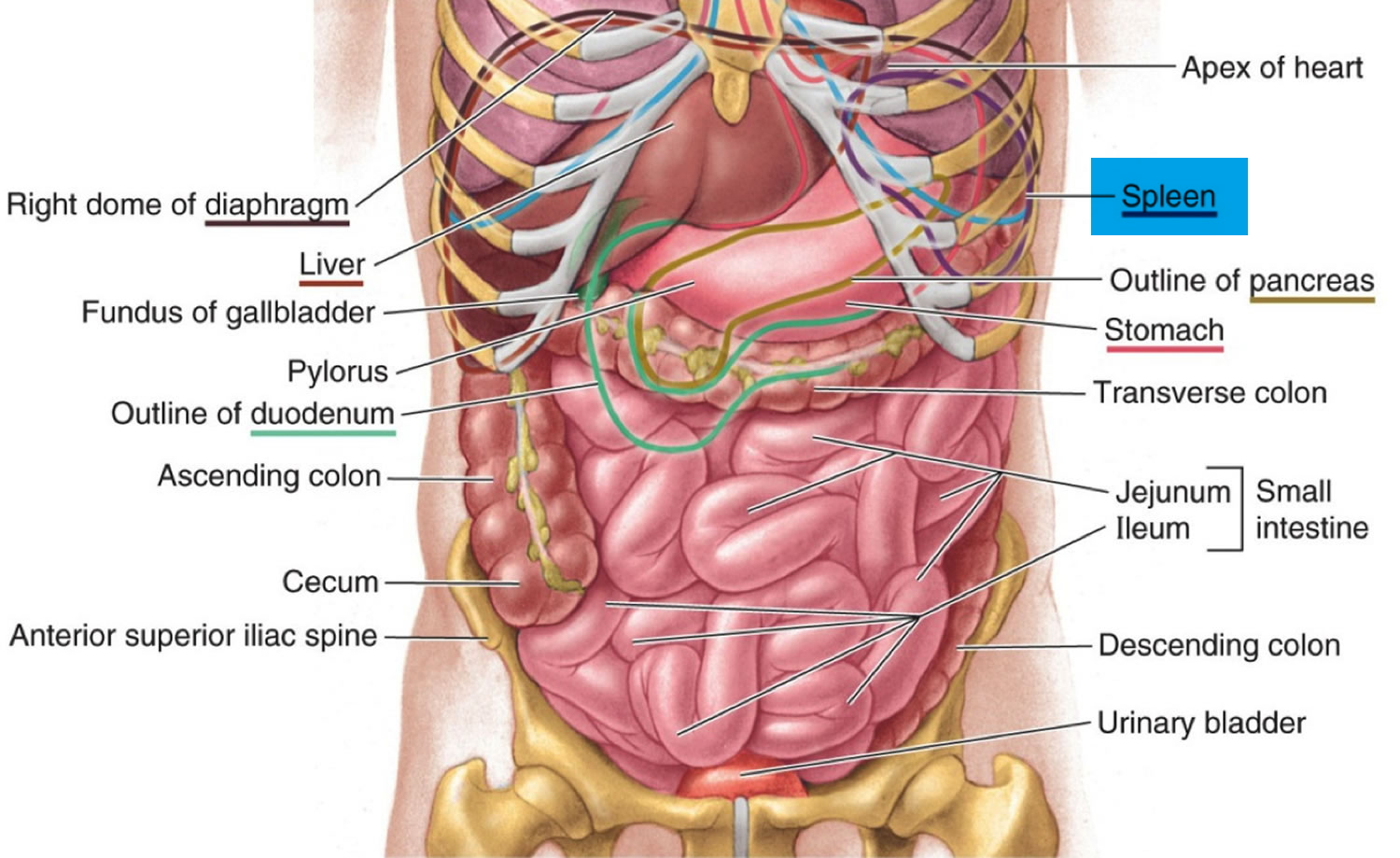 Spleen location anatomy
