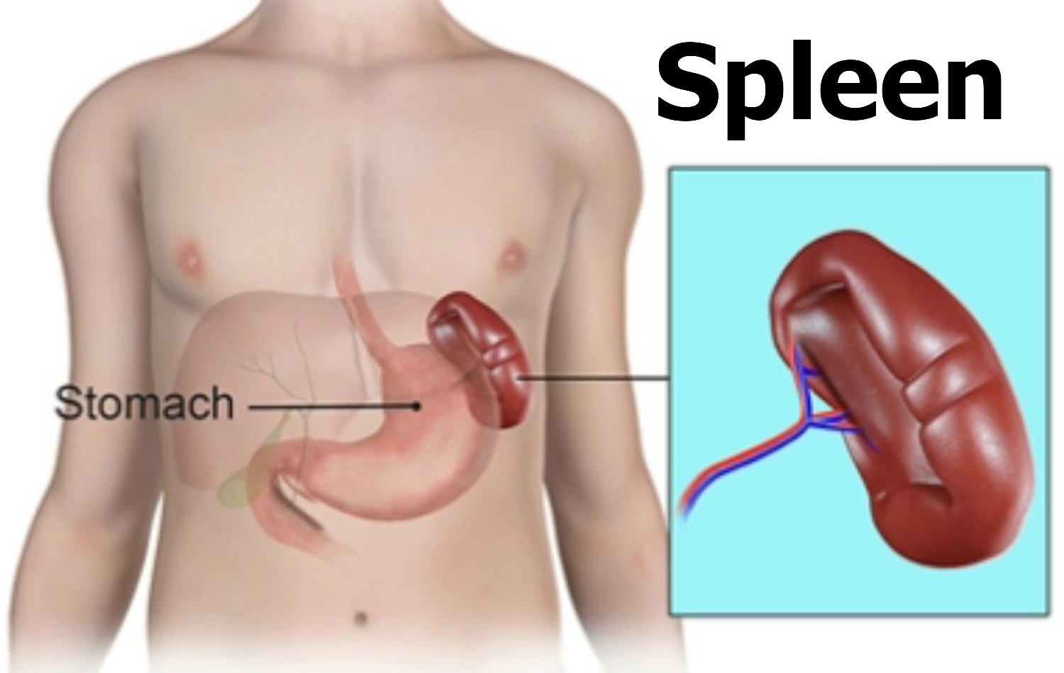 Spleen Location Function Symptoms Of Enlarged Ruptured Spleen