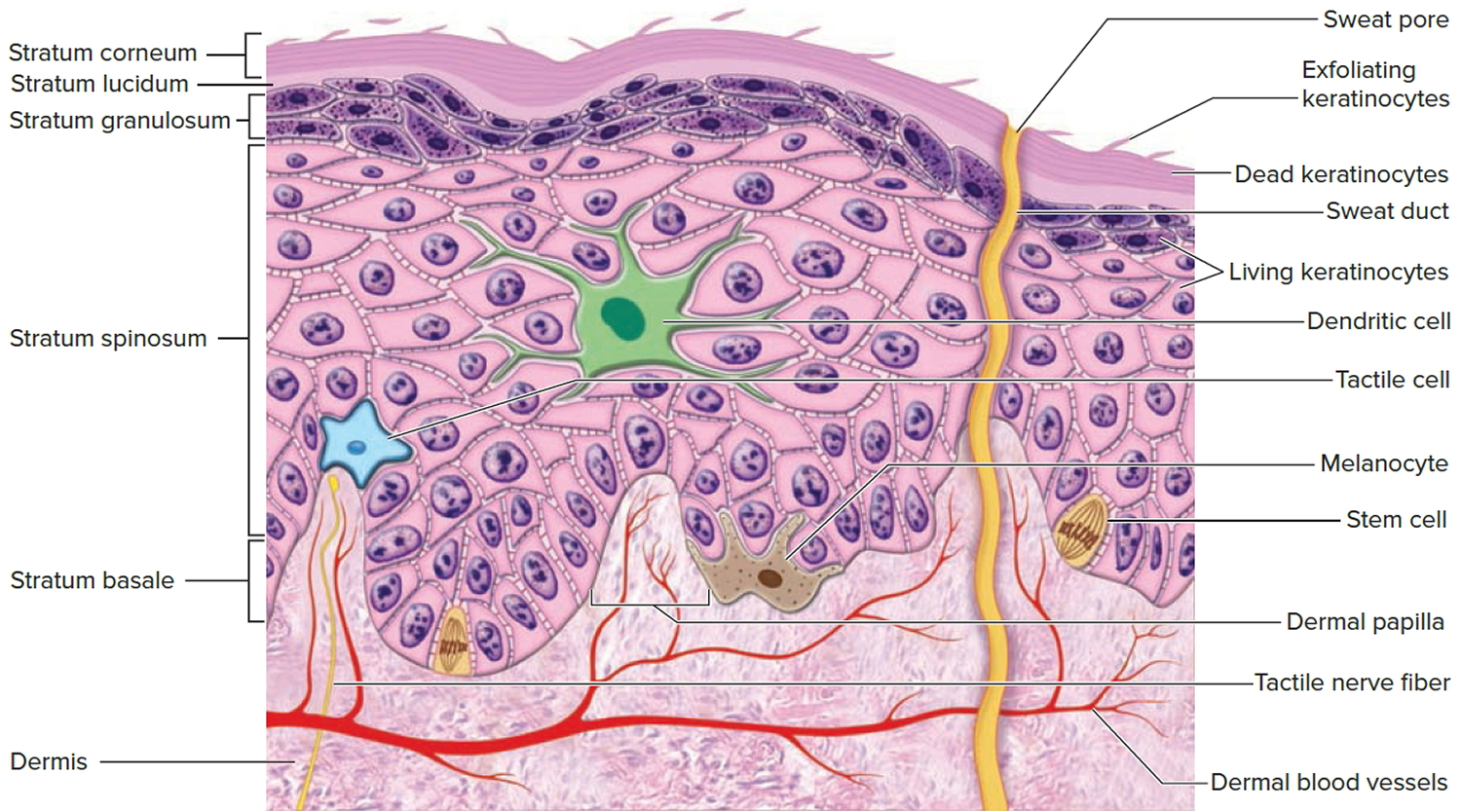 structure of epidermis