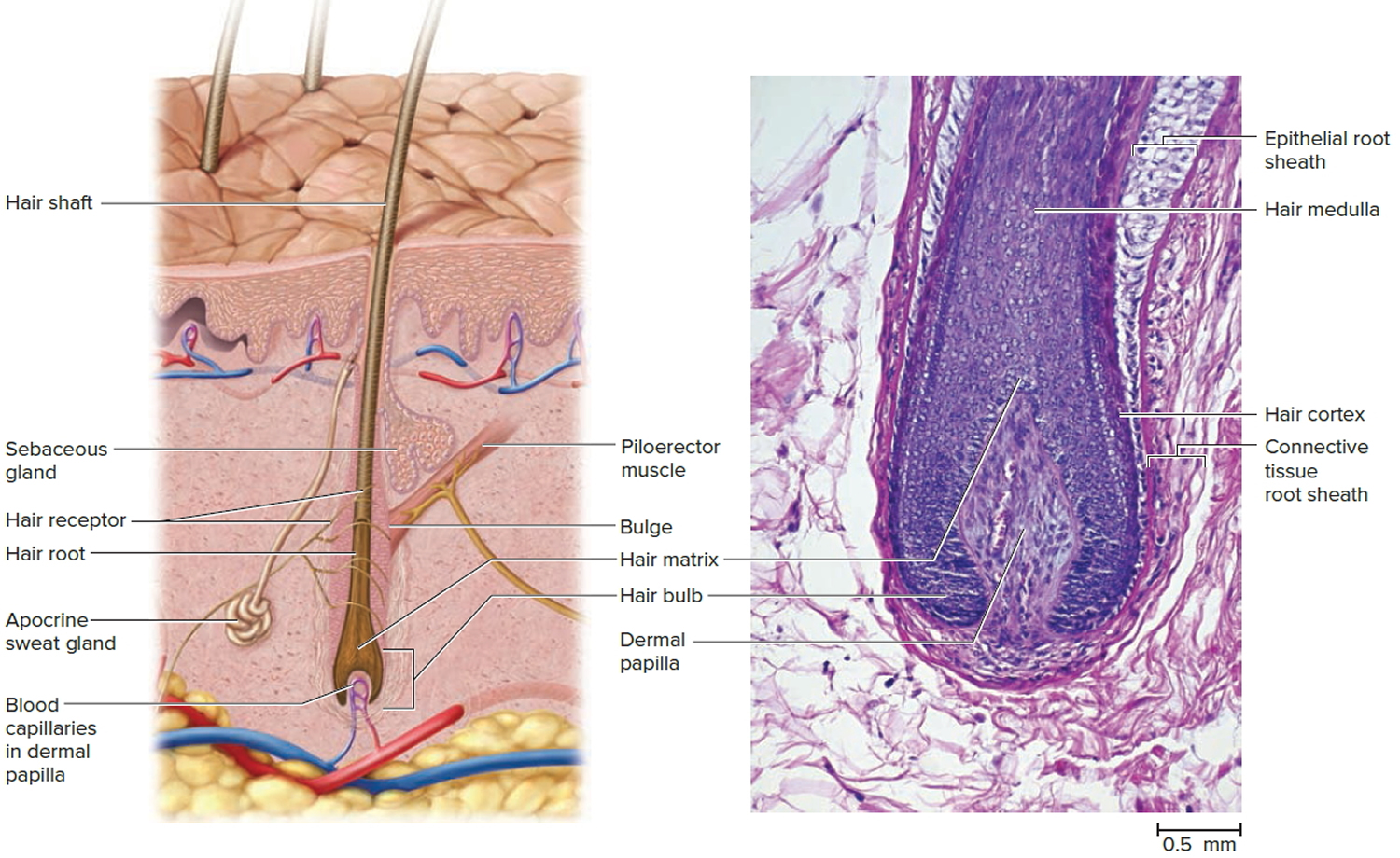 structure of hair and hair follicle