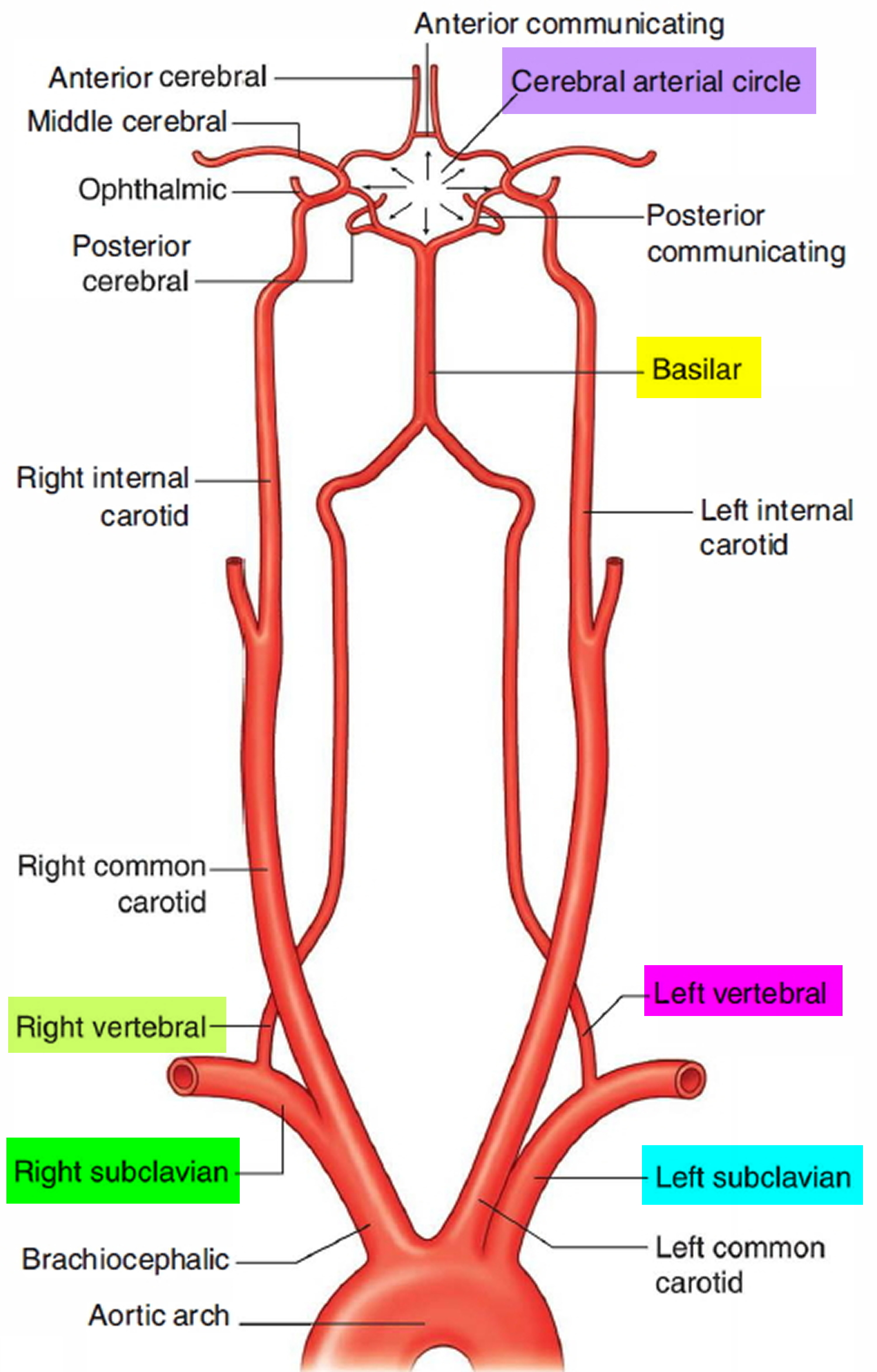 Left and Right Subclavian Artery Function, Branches, Stenosis
