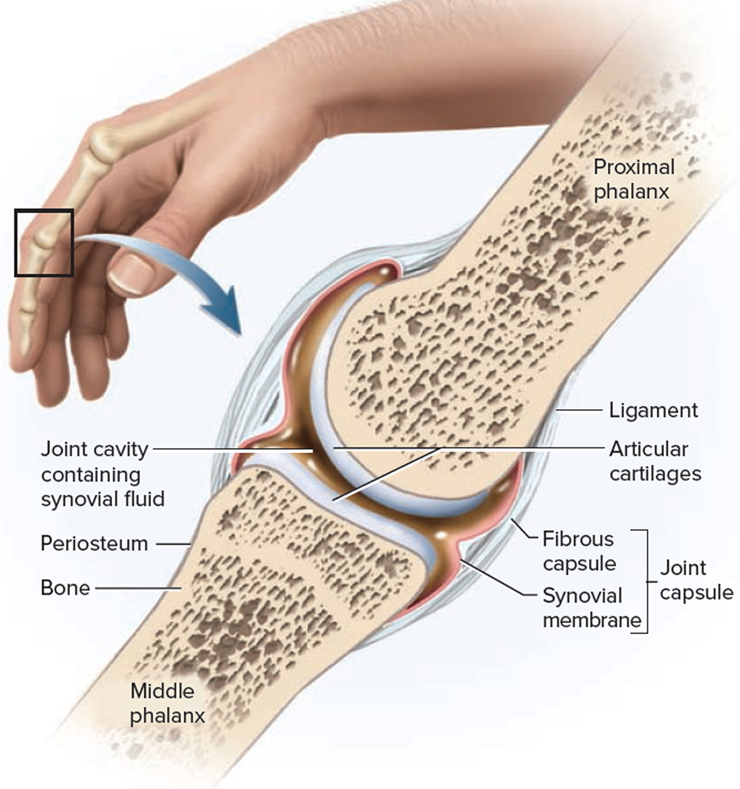 Designs associated with synovial joints: