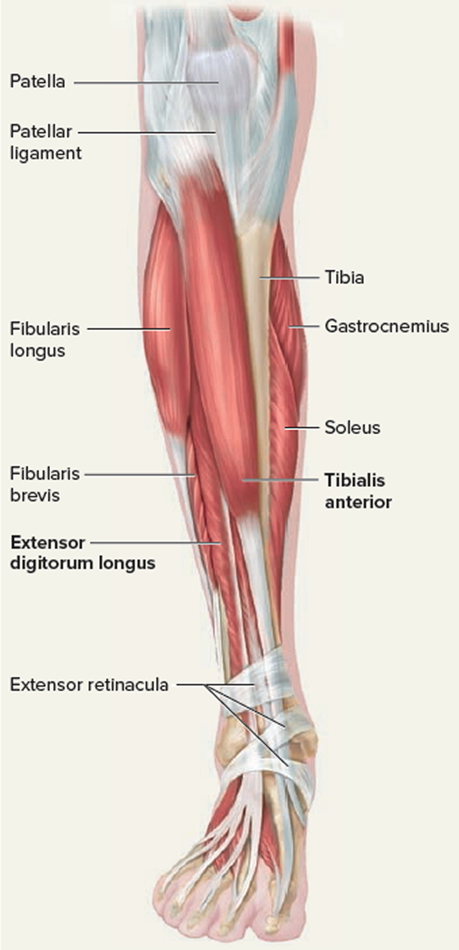 Tendon - Function, Arm, Hand Tendons - Leg and Achilles Tendons