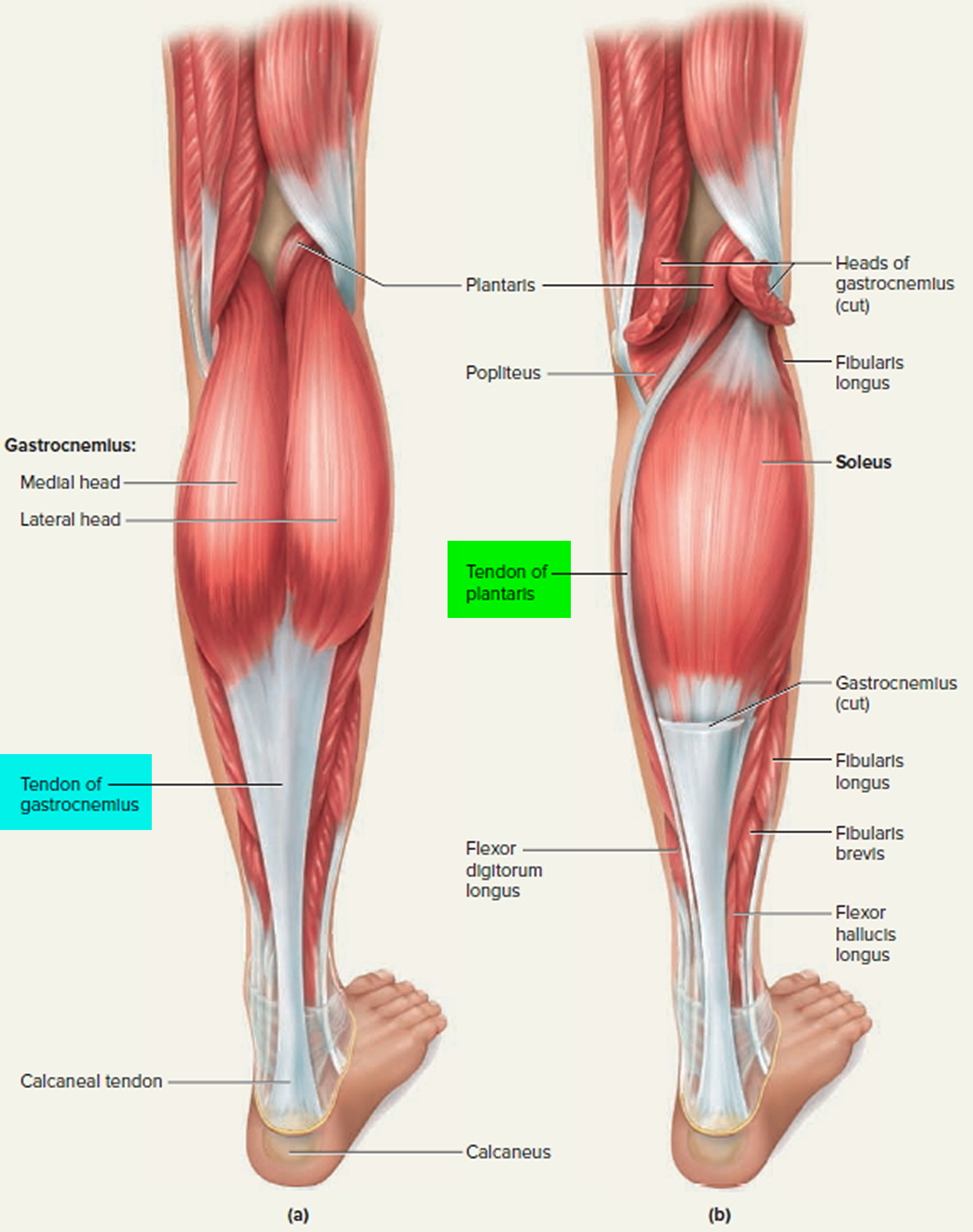 tendons of the leg and foot