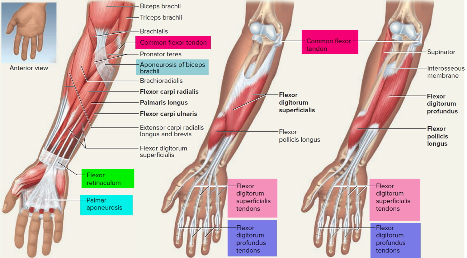 Tendon Function Arm Hand Tendons Leg And Achilles Tendons