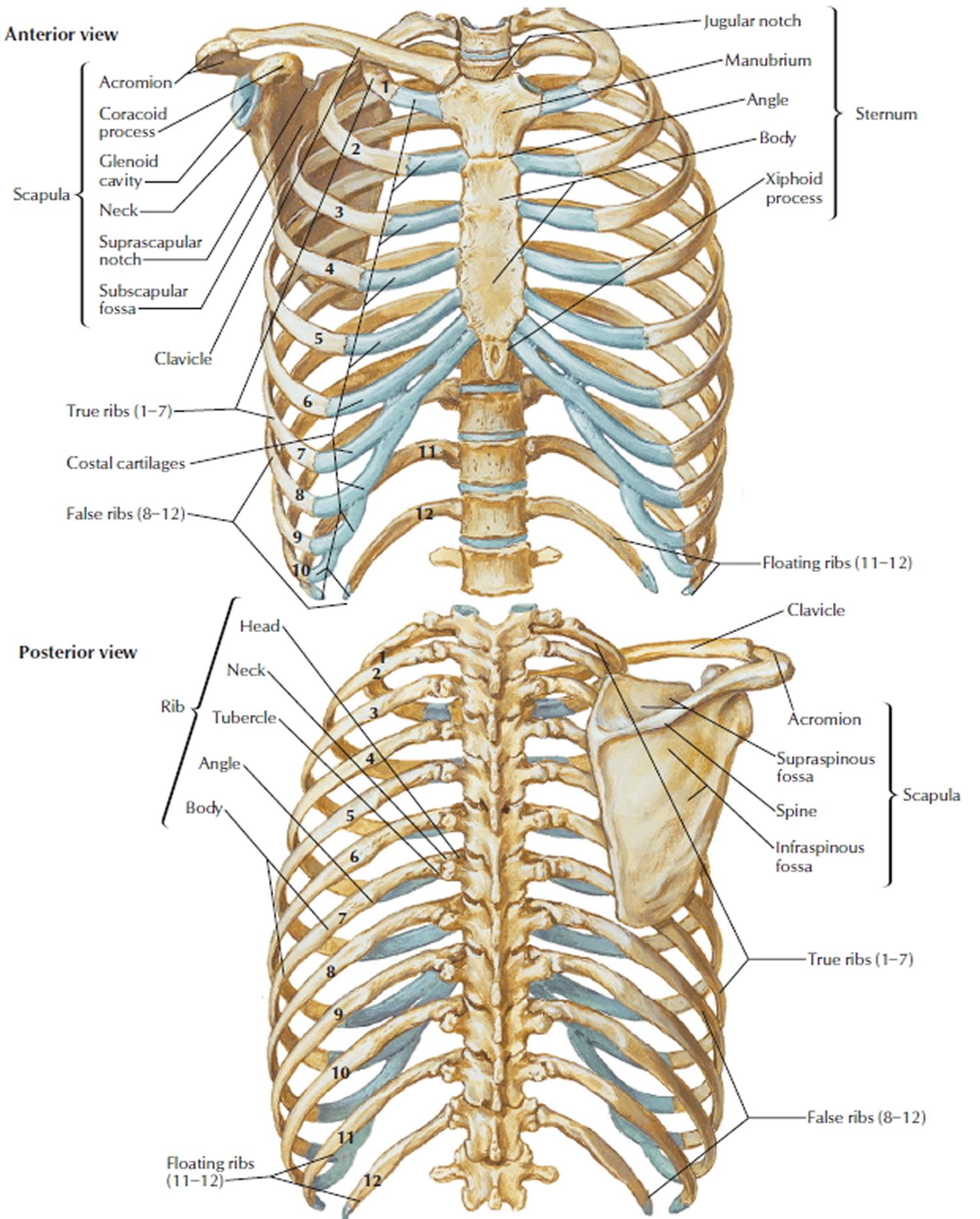 thoracic bone