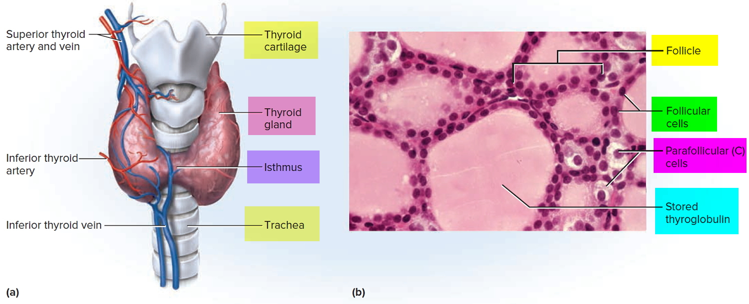 Thyroid Gland Location Function Hormones Problems And Surgery