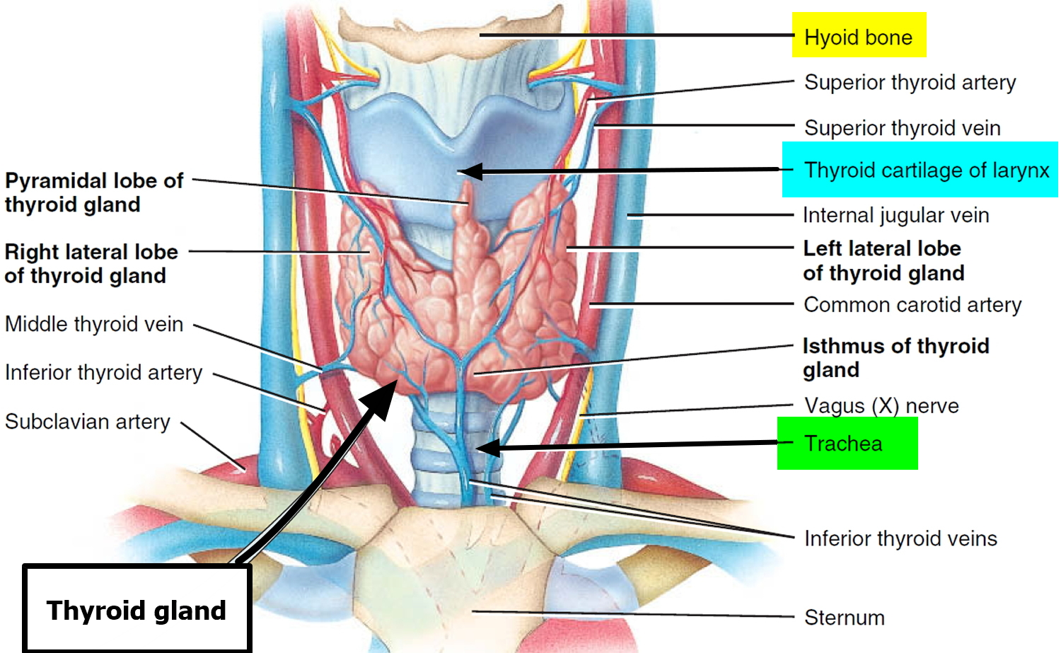Thyroid Gland Location, Function, Hormones, Problems and Surgery