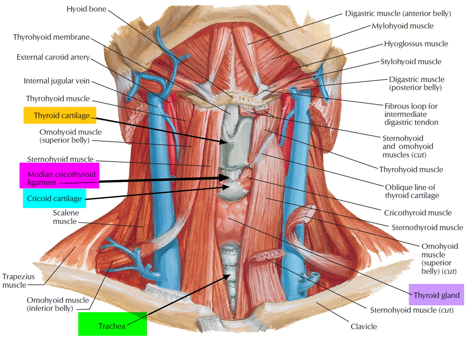 Anatomy of the neck and throat