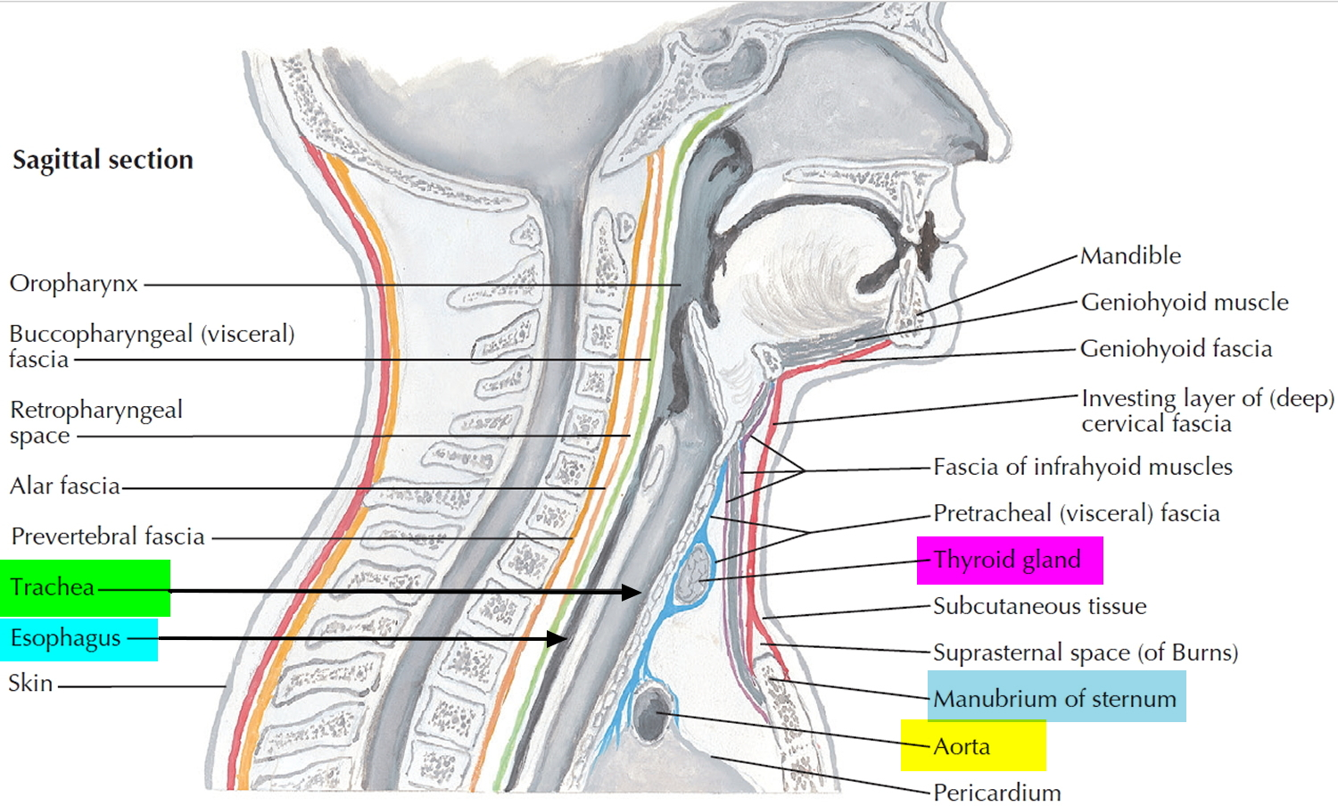 Trachea Anatomy Function Trachea And Esophagus Location