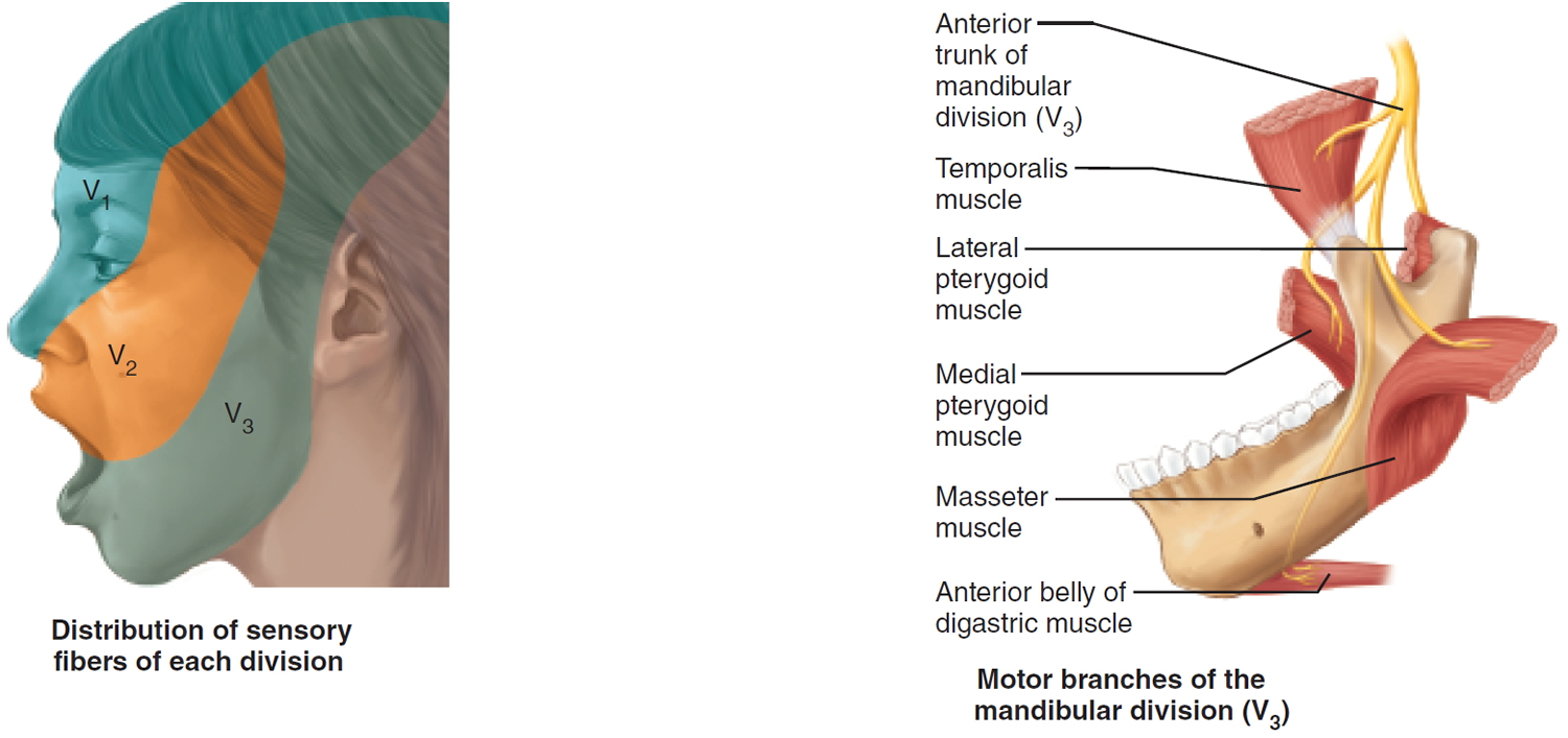 trigeminal nerve The trigeminal nerve is the fifth cranial nerve and its primary role is relaying sensory information from the face and head, although it does provide motor control to.