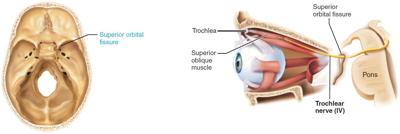 trochlear nerve - cranial nerve 4