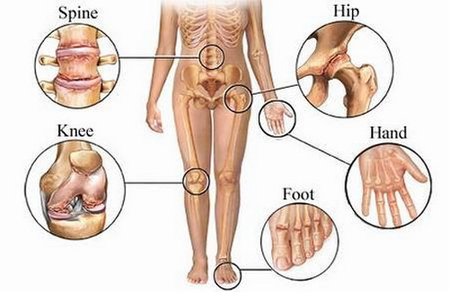 Types & Classification of Body Joints - Cartilaginous & Synovial Joint