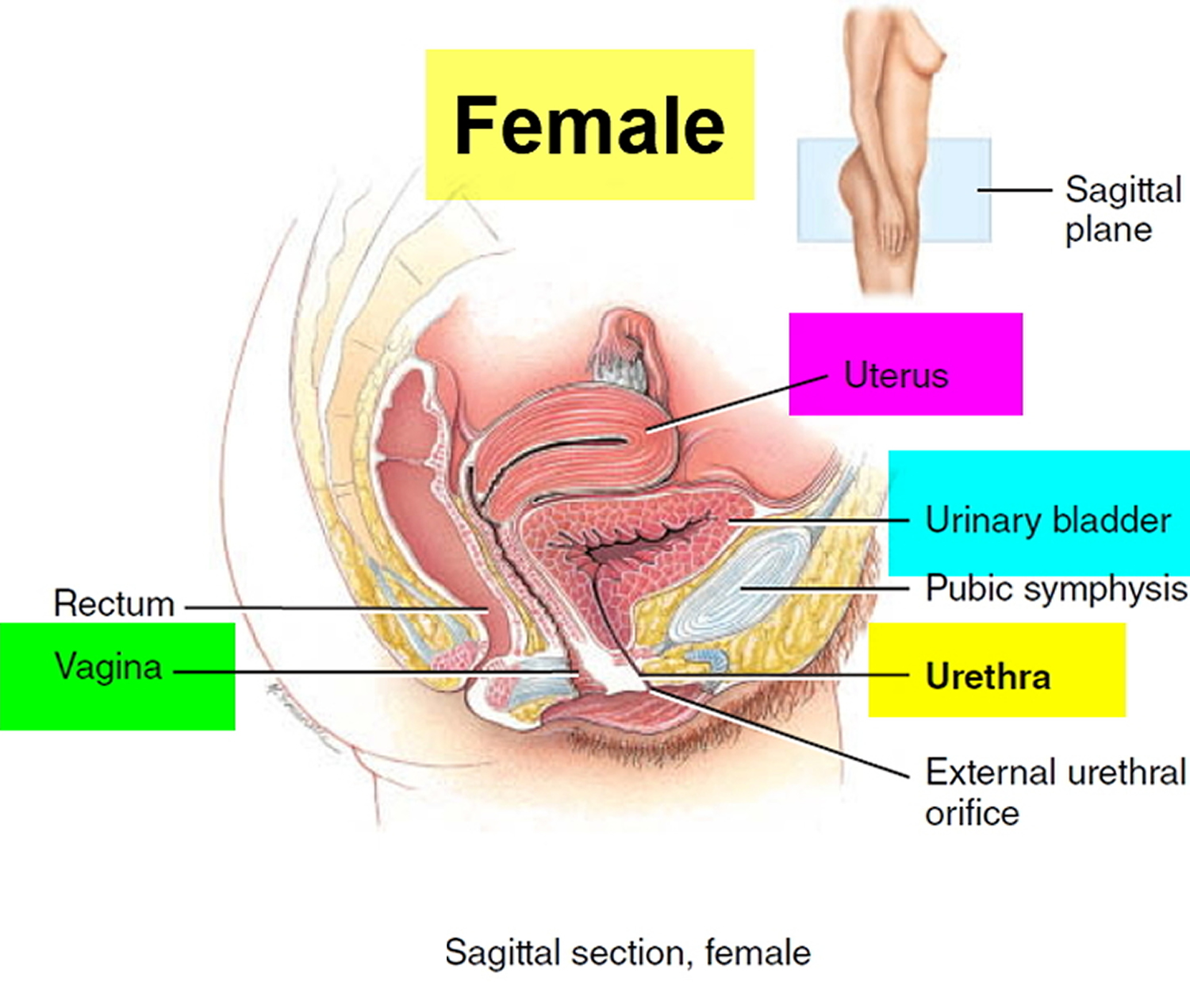 urinary-bladder-location