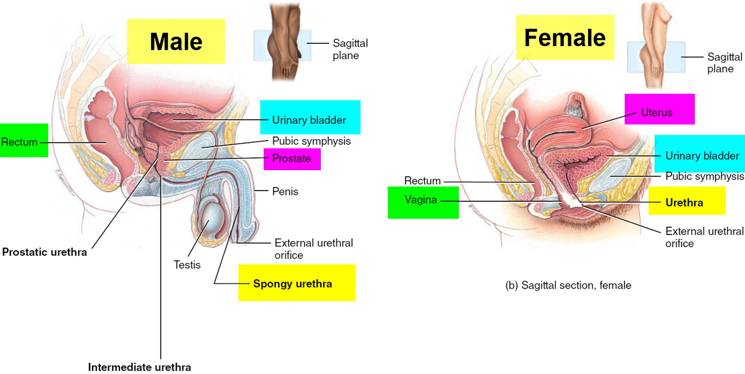 urinary bladder location