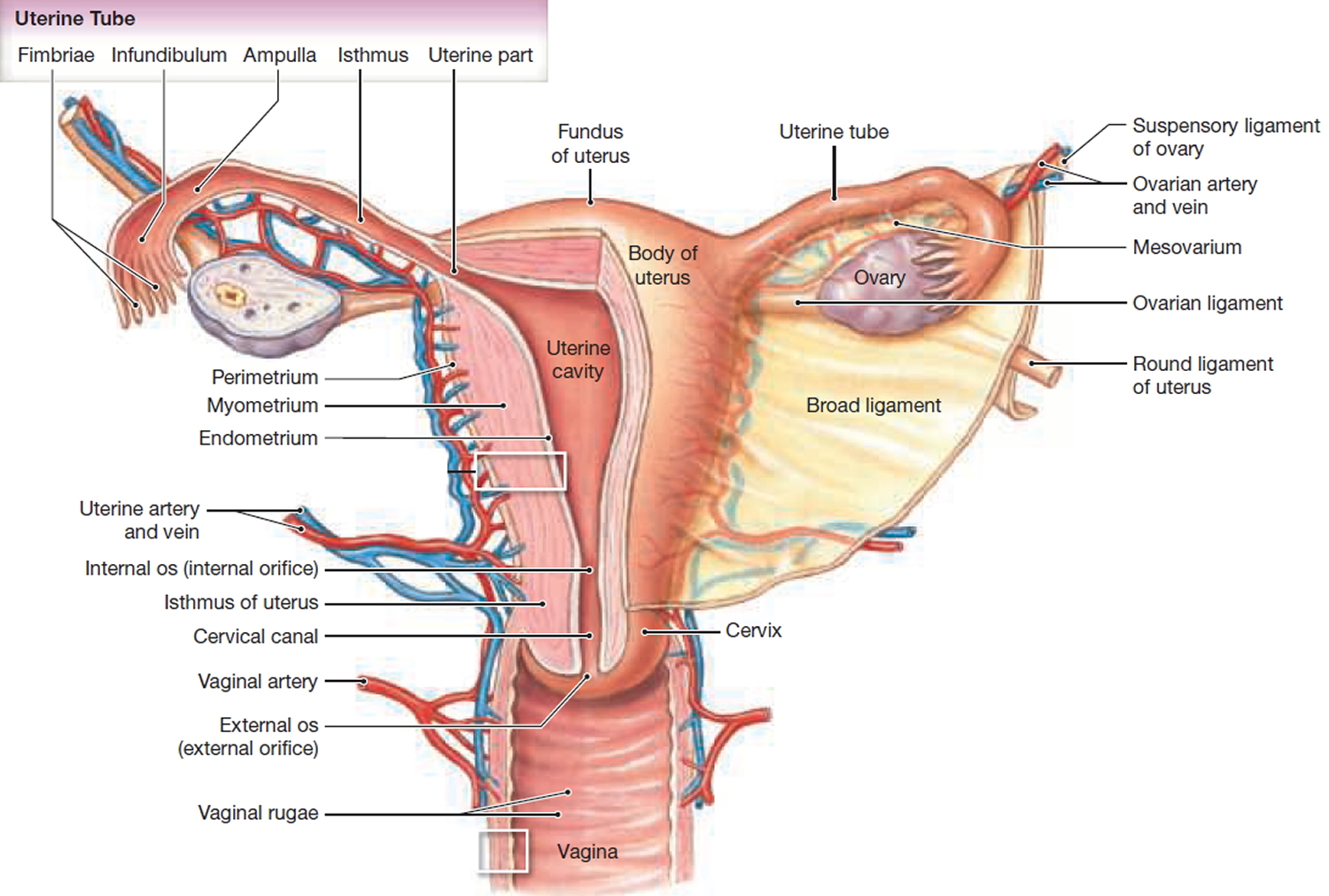 Uterus - Anatomy,Function, Inverted, Tipped & Transplantation